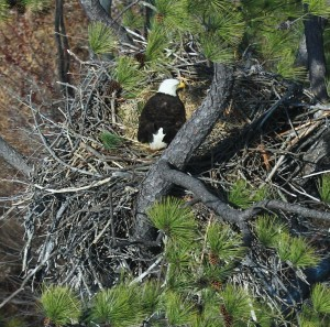Bald Eagle on nest in Northampton County (copy)