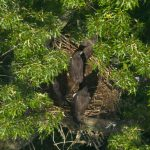 A rare four-chick bald eagle brood at eight weeks old