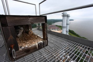 A new pair of peregrines nested on Dominion's Possum Point power plant