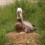 Adult brown pelican on nest with chick