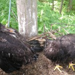 Bald eagle chicks in nest with transmitter