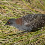 Black rail walking through a salt marsh