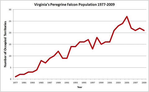 Breeding peregrine falcons in Virginia had a boost due to intensive reintroduction efforts starting in 1977
