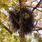 Eagle nest in a large chestnut oak on a private estate