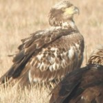 Golden eagle with backpack satellite transmitter and two sub-adult bald eagles