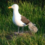 Great black-backed gull with chick