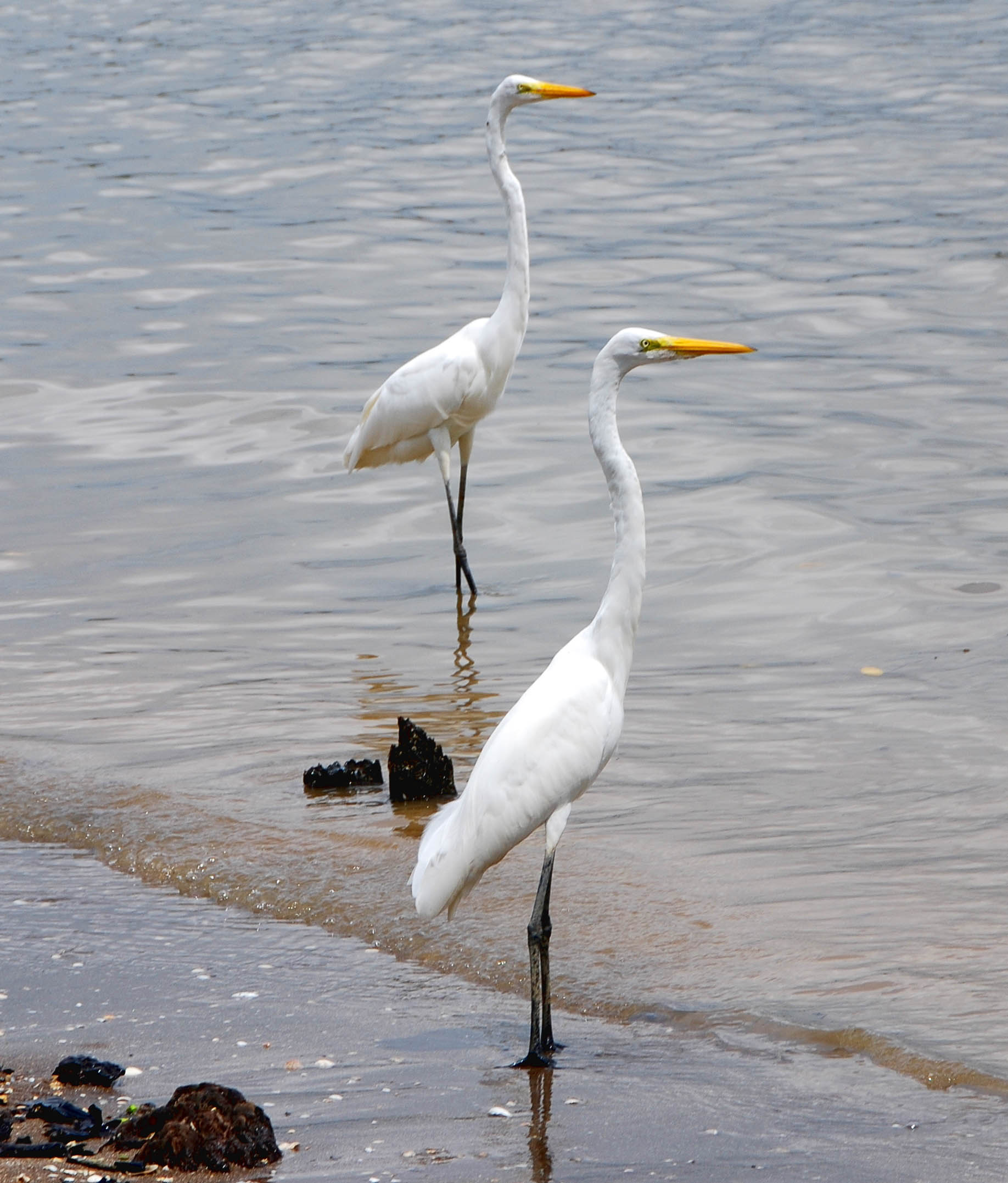Great egrets seen loafing along the shoreline