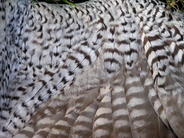 Intricate pattern of feathering on the wing lining of an adult peregrine