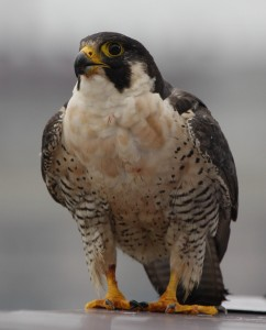 female of the Richmond peregrine pair