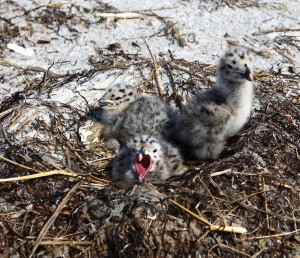 great black-backed gull chicks will move from the nest into vegetative cover within a couple of days of hatching