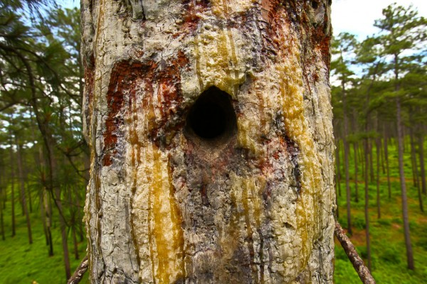 Red-cockaded Woodpecker Cavity