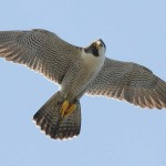 1_Peregrine Falcon at Elkins Chimney nest
