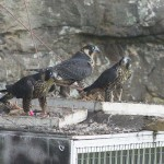 20_Peregrine Falcons at a feeder tray