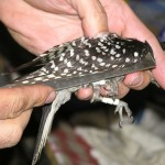 Measuring Red-cockaded Woodpecker Wing Length