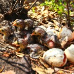 Wild Turkey Brood Hatching on Piney Grove Preserve