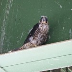 Ben Harrison bridge peregrine falcon chick