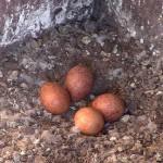 5_Peregrine Falcon eggs