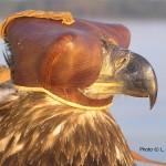 Bald Eagle wearing a hood.