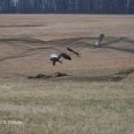 Capturing Bald Eagles under a rocket net.