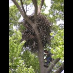 Craig Koppie climbing to a Bald Eagle nest along the upper Chesapeake Bay.