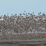 Western Sandpiper Flock