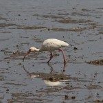 White Ibis foraging on mudflats at Farfan