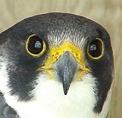 peregrine falcon head shot