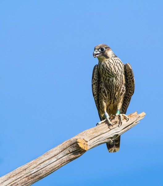 Young male peregrine on perch after release in Shenandoah National Park. Shenandoah National Park photo.