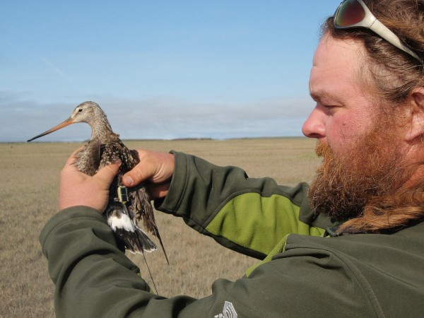 Fletcher Smith with Hudsonian Godwit after transmitter attachment. Photo by CCB.
