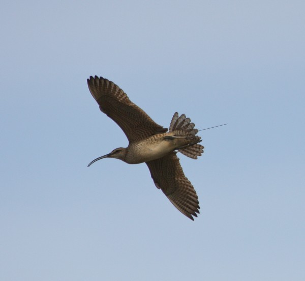 Whimbrel with transmitter in flight. Photo by Fletcher Smith.
