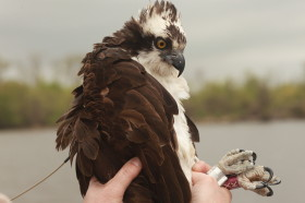 Side view of Rice the osprey wearing a GPS transmitter
