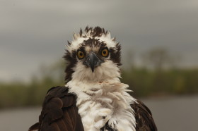 Rice the Osprey was fitted with a GPS satellite transmitter on the James River, Virginia.
