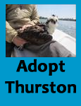 Adopt icon for Thurston the osprey