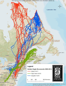 Golden eagle movements for three birds 2008-2014 Map by CCB.