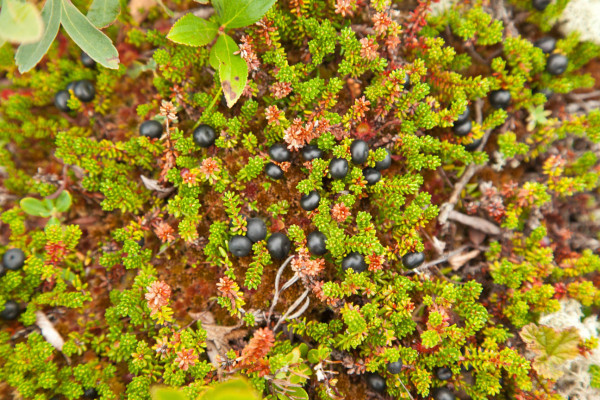 Crowberries were the primary fruit used by dough birds to fuel their transoceanic flight from eastern Canada to South America. They ate so many of these berries that their bellies were often dyed purple. Photo by Bryan Watts.