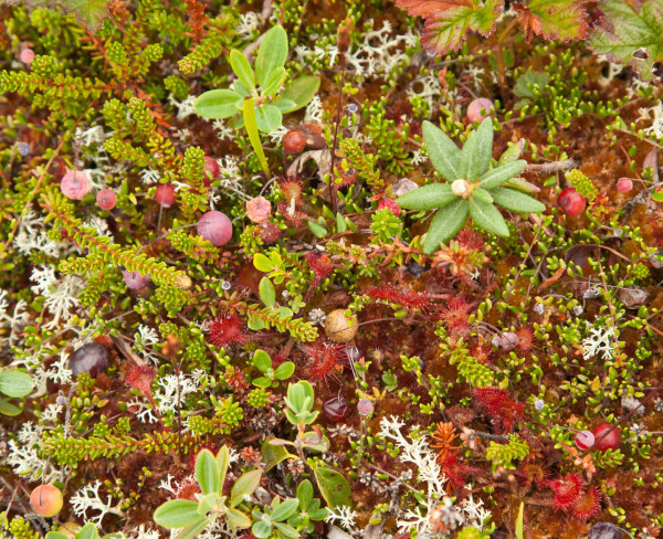 The heathlands of Miscou Island are covered with a mixed potpourri of miniature plants including the delicate sundew. Photo by Bryan Watts.