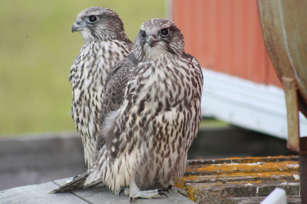 Recently fledged Gyrfalcon chicks at the decommissioned communications tower site. Gyrfalcons are one of the few sources of adult whimbrel mortality on the breeding grounds. Photo by Fletcher Smith.