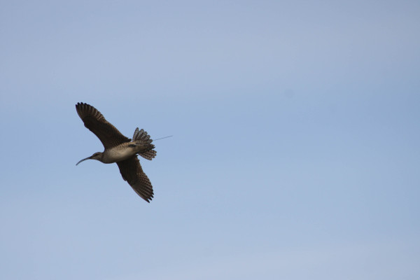Satellite tagged whimbrel. Photo by Fletcher Smith.