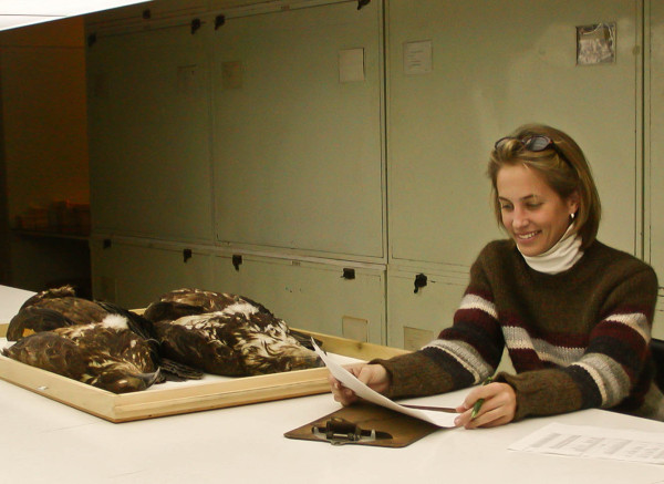 "Catherine Markham (CCB graduate student 2001-2004) catalogs eagle specimens taken within the Chesapeake Bay during the ""killing time"" and now housed within the Smithsonian collections. Photo by Bryan Watts."
