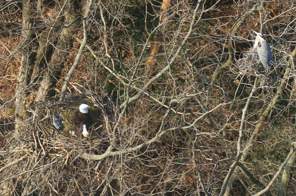Current eagle resident of High Point incubates eggs along the Potomac River. The birds now share this landmark with a colony of great blue herons. Photo by Bryan Watts.