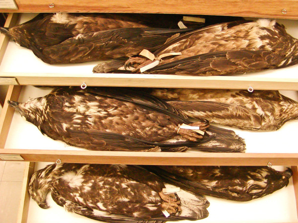 Drawer upon drawer of eagle specimens are maintained by the Smithsonian Institution in Washington, D.C. Each has its own story to tell. Photo by Bryan Watts.