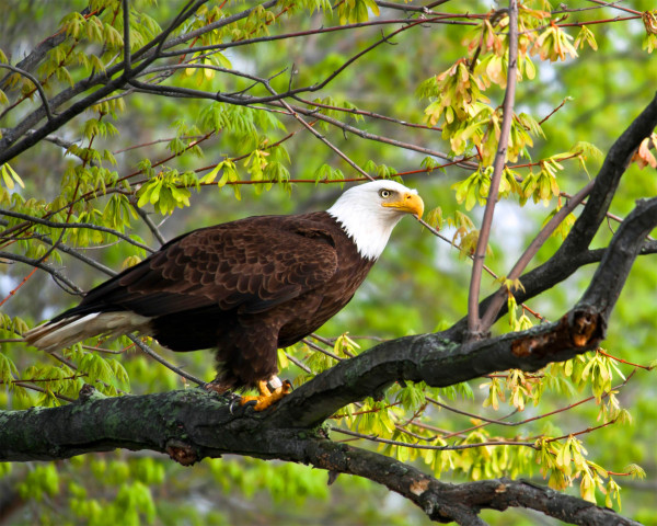A beautiful photo of Dolly on her breeding territory along the James River. Photo by Lynda Richardson.
