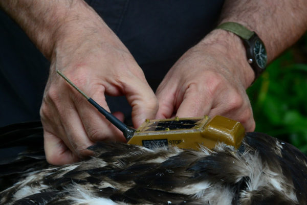 Bryan Watts adjusts the harness used to attach a solar-powered transmitter to a bald eagle near a military facility in Virginia. Photo by Reese Lukei, Jr.