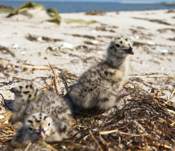 Great black-backed gull brood near Tangier Island in the Chesapeake Bay. Great Black-backs are one of the Virginia breeding species that is restricted to tidal waters and is a newcomer with first breeding recorded in 1970. Photo by Bryan Watts.