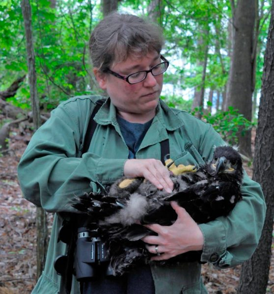 Michael Wright from the Environmental Program Division of Naval Air Station Oceana holds a bald eagle nestling ready for banding. The division is responsible for wildlife management on DOD lands and made the eagle investigation possible. Photo by Reese Lukei, Jr.