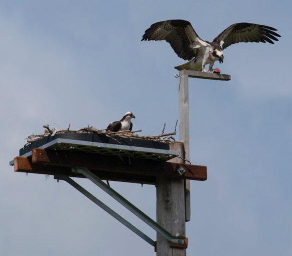 Pair of osprey on a beautiful platform early in the nesting season near Seattle, Washington. Photo courtesy of Ingrid Taylar.