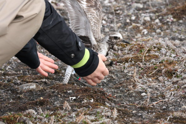 Satellite tagged black-bellied plover being released on breeding grounds in the High Arctic.  Photo by Fletcher Smith.