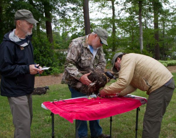 Reese Lukei records data as Bart Paxton holds and Bryan Watts measures and bands a young eagle near a military installation in coastal Virginia. Photo by Holly Smith.