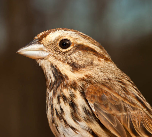 The song sparrow is an example of a common breeding species that is widely distributed across the state. Its song is a regular component of our daily soundscape in summer. Photo by Bryan Watts.